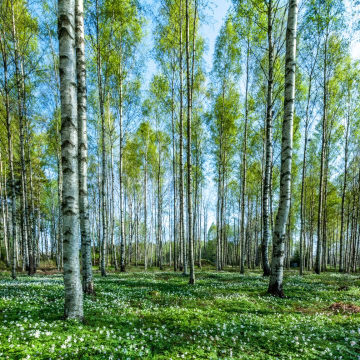 björk,skog,vitsippor,vår,grön