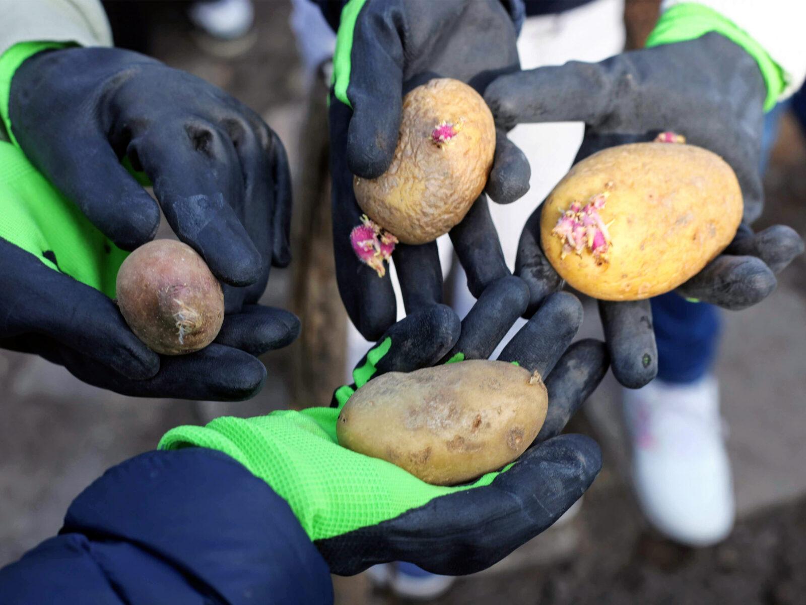 skolträdgård, vårfruskolan, täppan, potatis