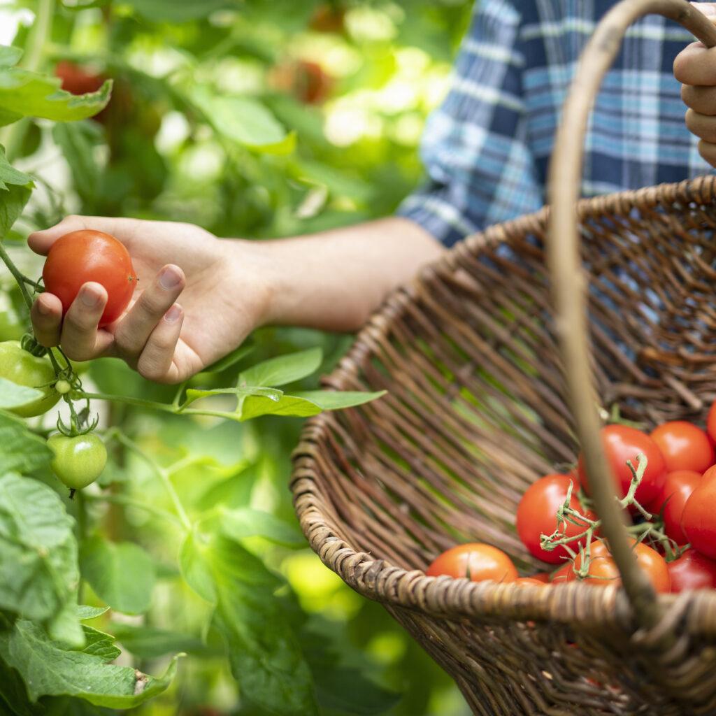 tomater, röd, korg, plantor, grön, mogna, manniska, ljus, grönsak