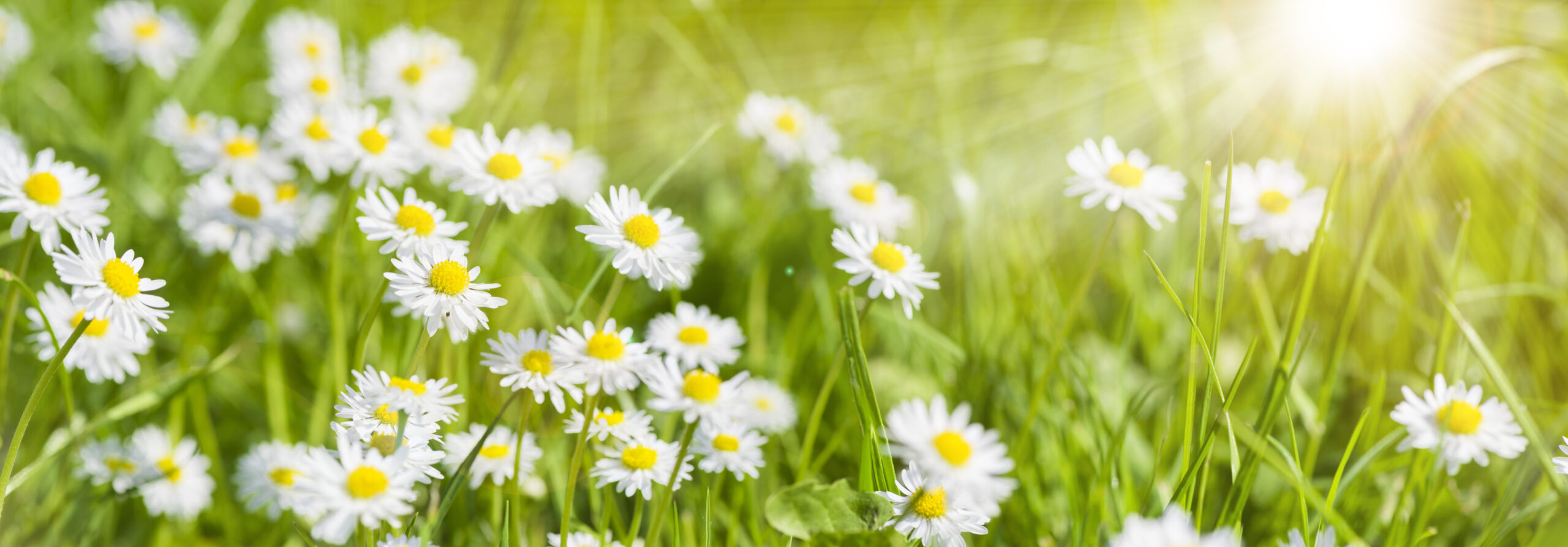 Blomma,blommor,gräs,grön,vit, sommar