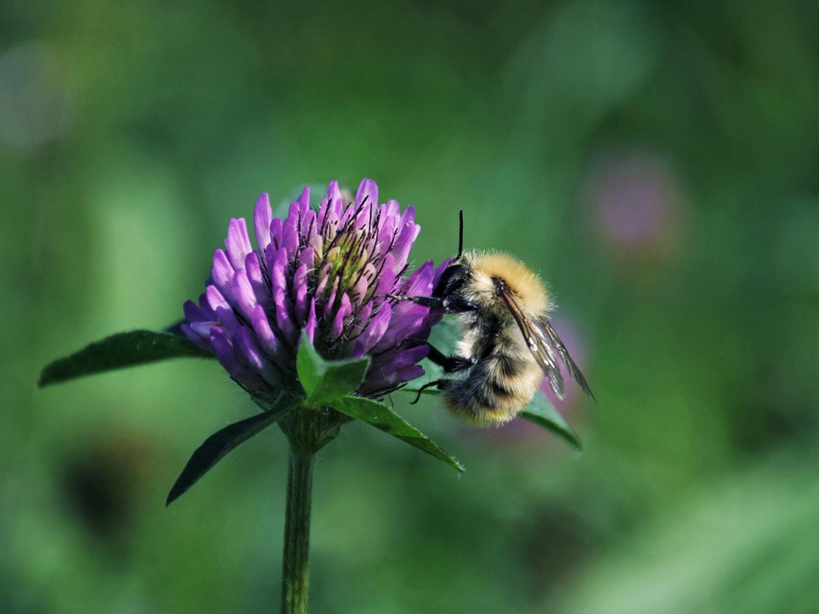 bi, humla, klöver, pollinering