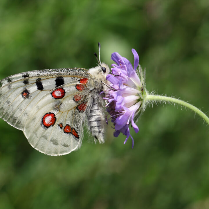 """""""Pincushion Flower, Animal, Animals And Pets, Apollo Butterfly, Butterfly, Day, Endangered Species, Flower, Flowers"""", Insect, Insects, Mountain Apollo, Nature, One Animal, Outdoors, Scabious, Side View, Single Flower, Sucking, Wild Animals, Wildflower, apollofjäril, fjäril, apollo, blomma, biologisk mångfald, insekt, pollinering, fridlyst,"""