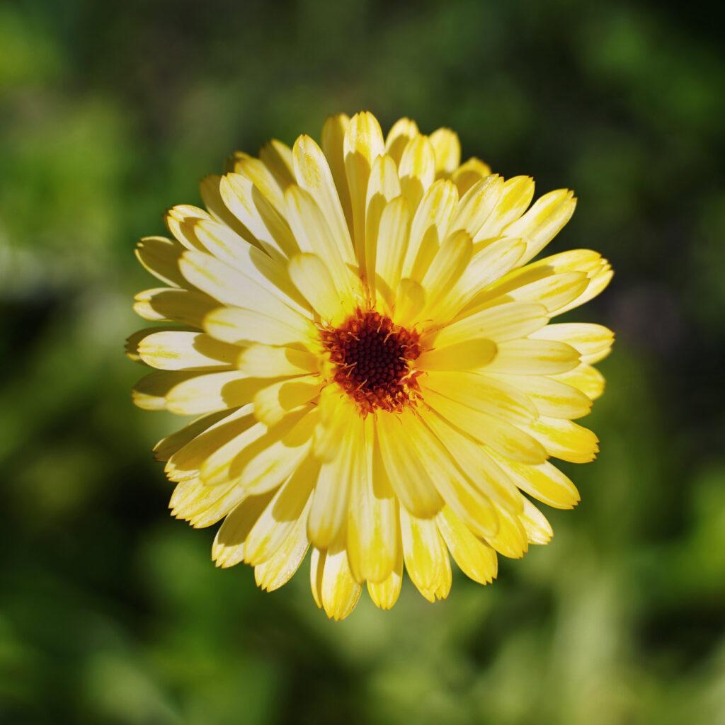 Blomma, natursymmetri, ringblomma, gillanaturen
