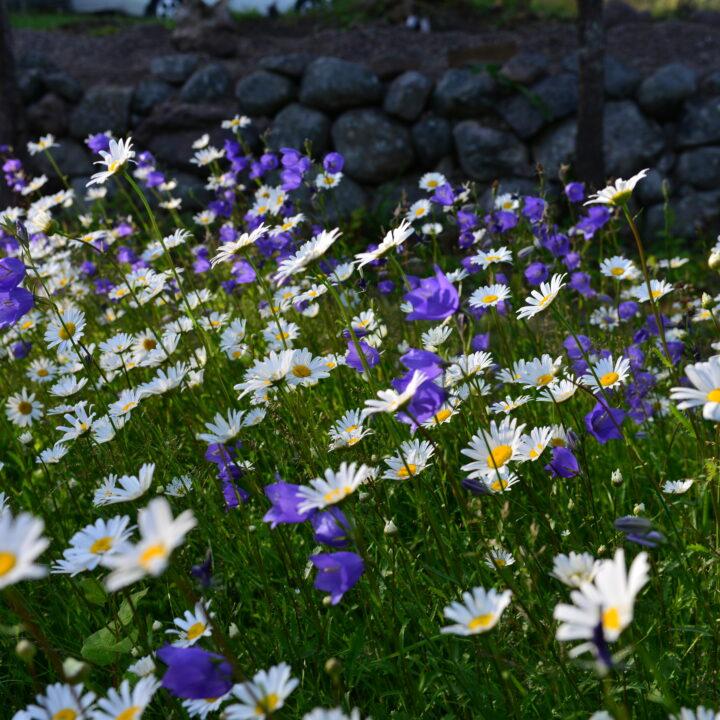 blommande vägkant, blåklocka, mur