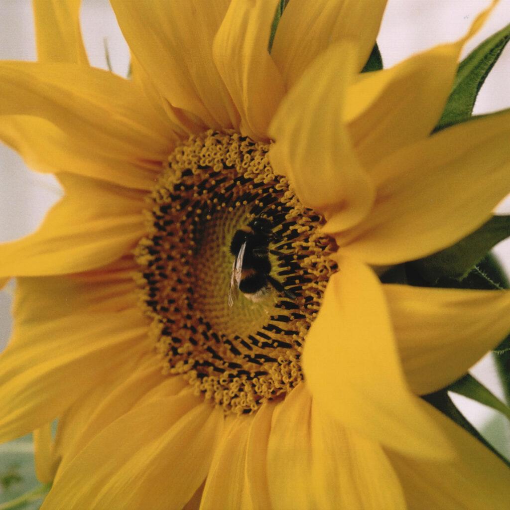 Solros, Blomma, Blommor, Gul, Orange, Humla, Humlor, Insekt