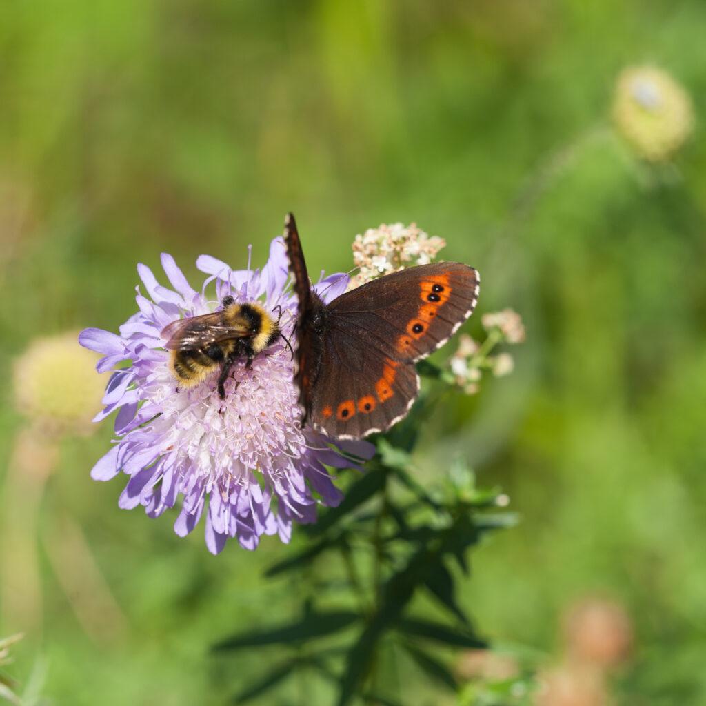 Humla,humlor,fjäril,fjärilar,insekt,insekter,vädd,blomma,blommor