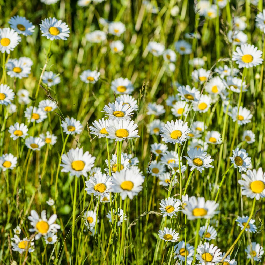 prästkragar blommor i naturen