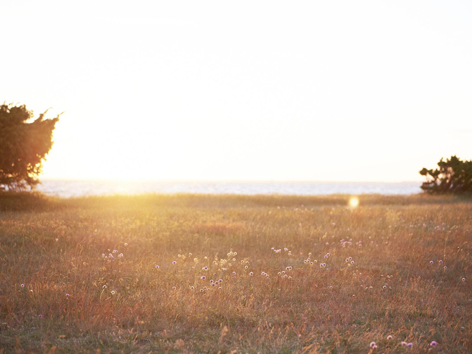 färgbild, horisont över vatten, horisontell, liggande, linsflare, äng, natur, inga människor, Öland, utomhus, växter, Skandinavien, hav, himmel, sommar, solig, solnedgång, Sverige, träd, vatten, vita blommor