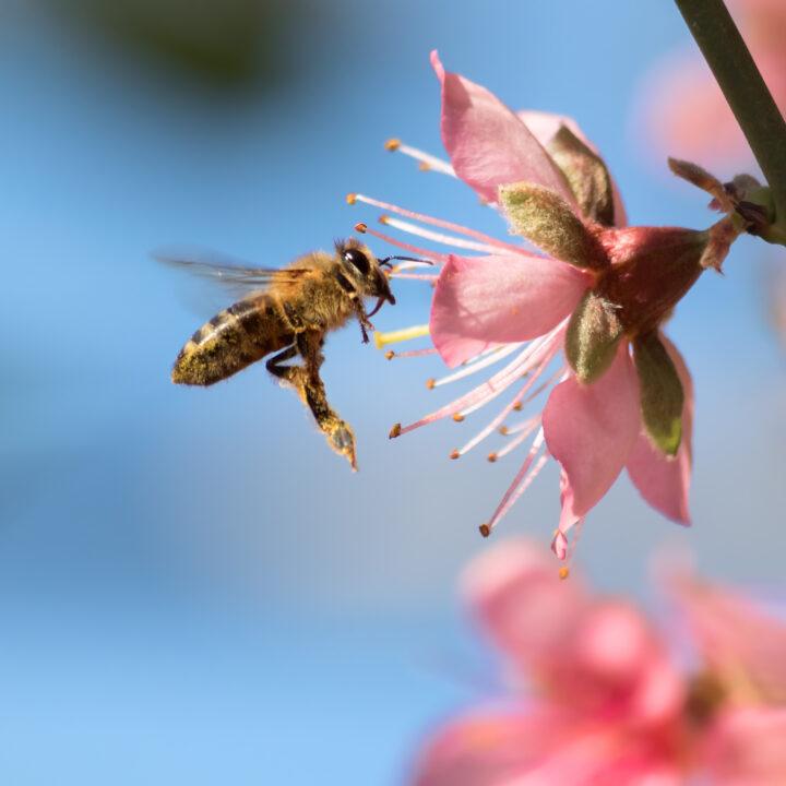 Ett bi pollinerar en rosa blomma. Varför är pollinering så viktigt?