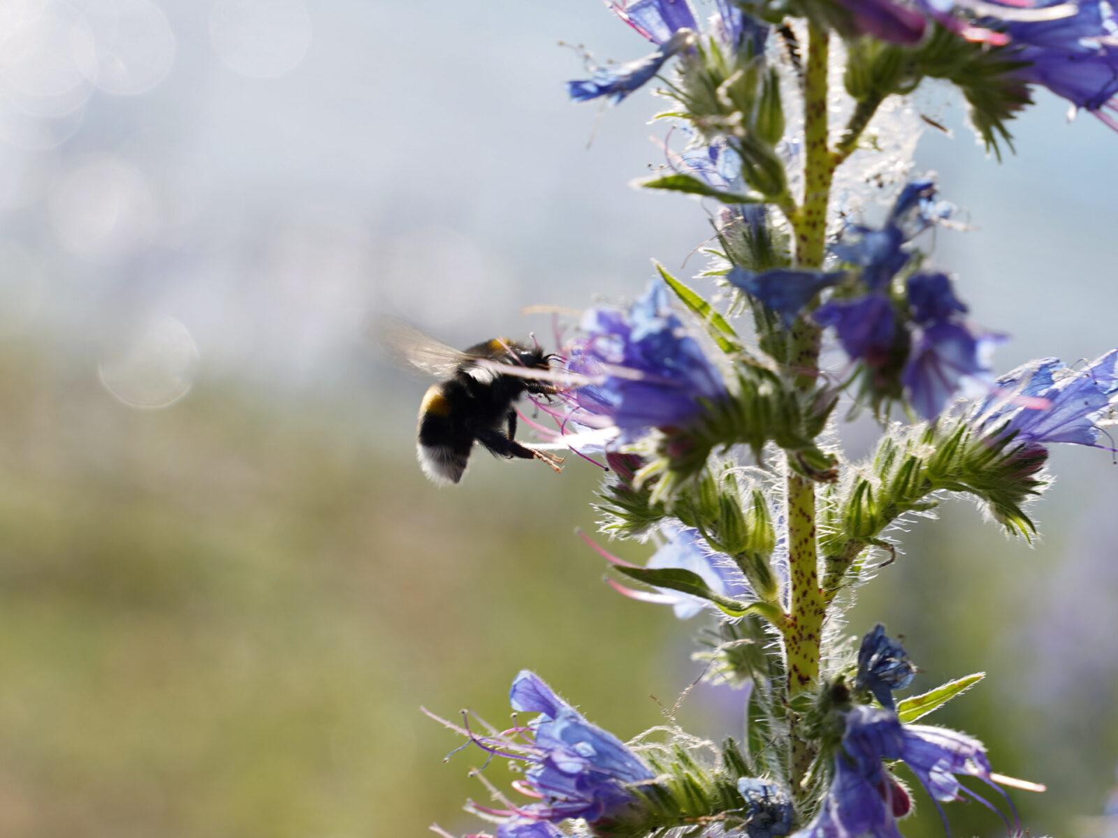 humla, bin, blåeld, blomma,