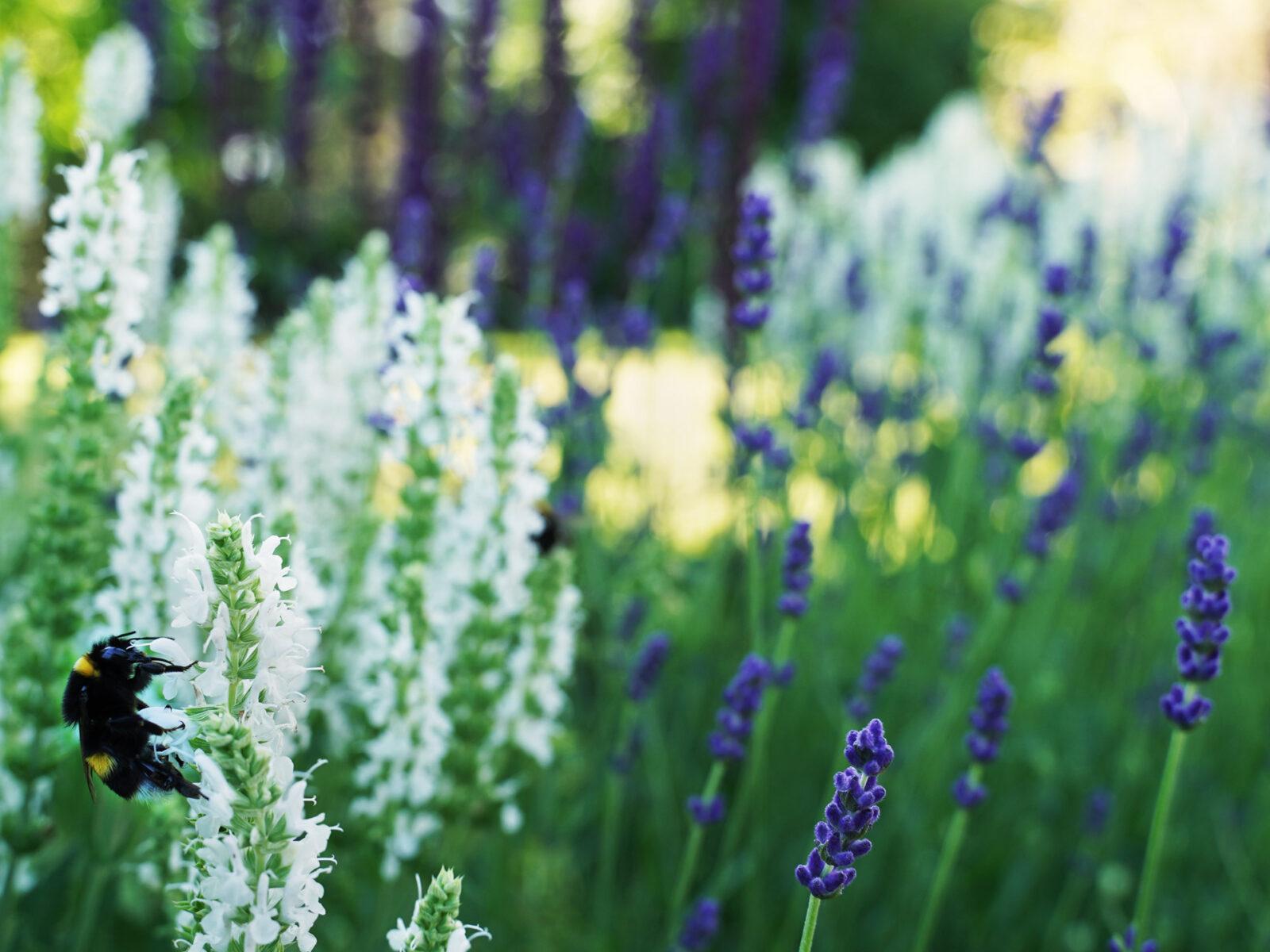 humla, salvia, bin, kryddträdgård