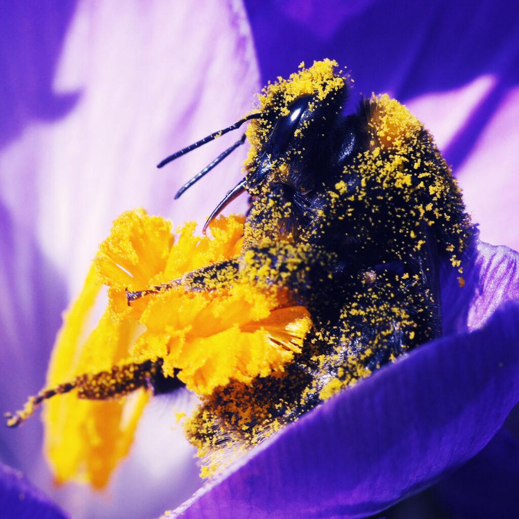 humla, bi, pollinering, pollen, pollinatör, blomma, vad, gör, bin