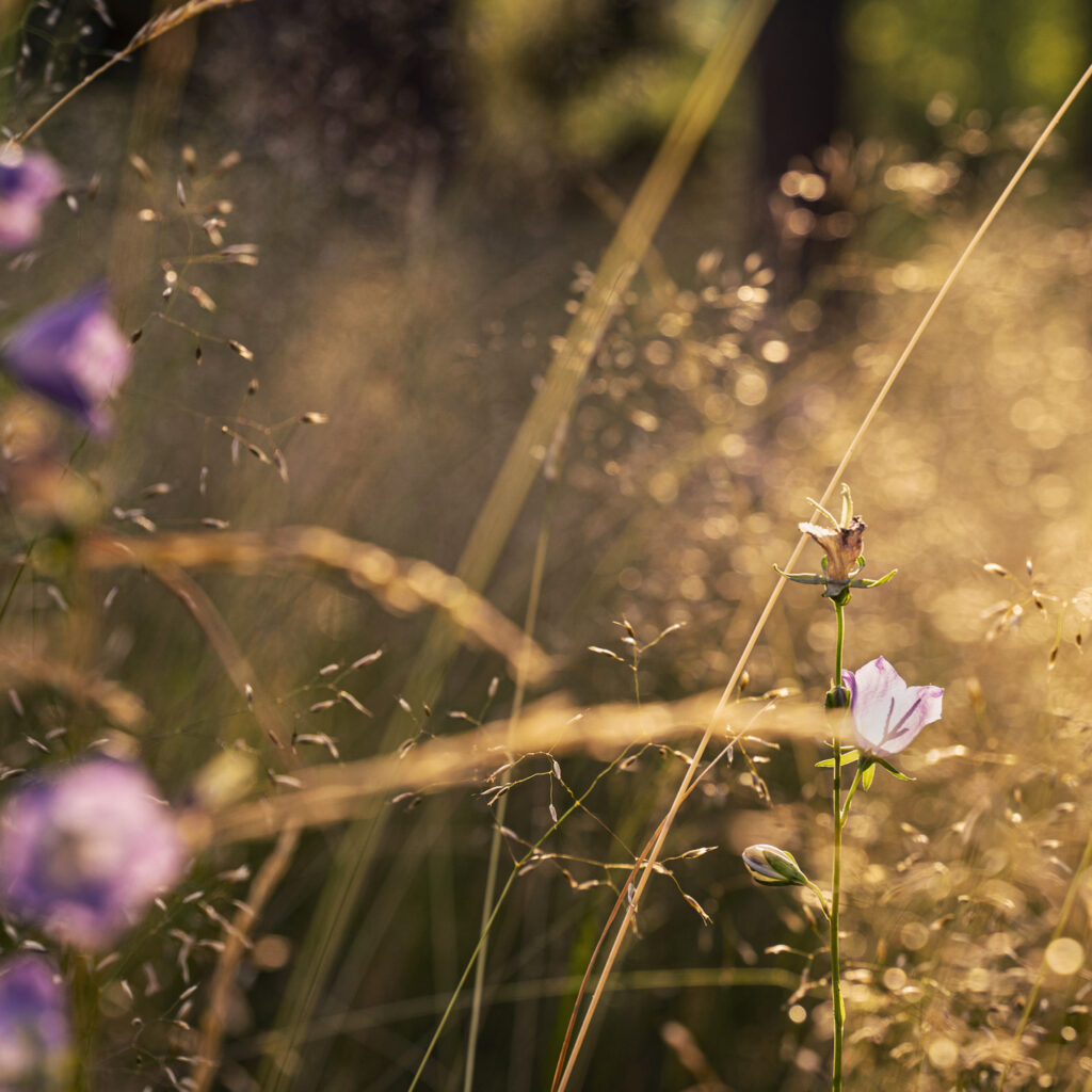 blåklocka, äng, morgonsol, blomsteräng, hage, sommar, Småland