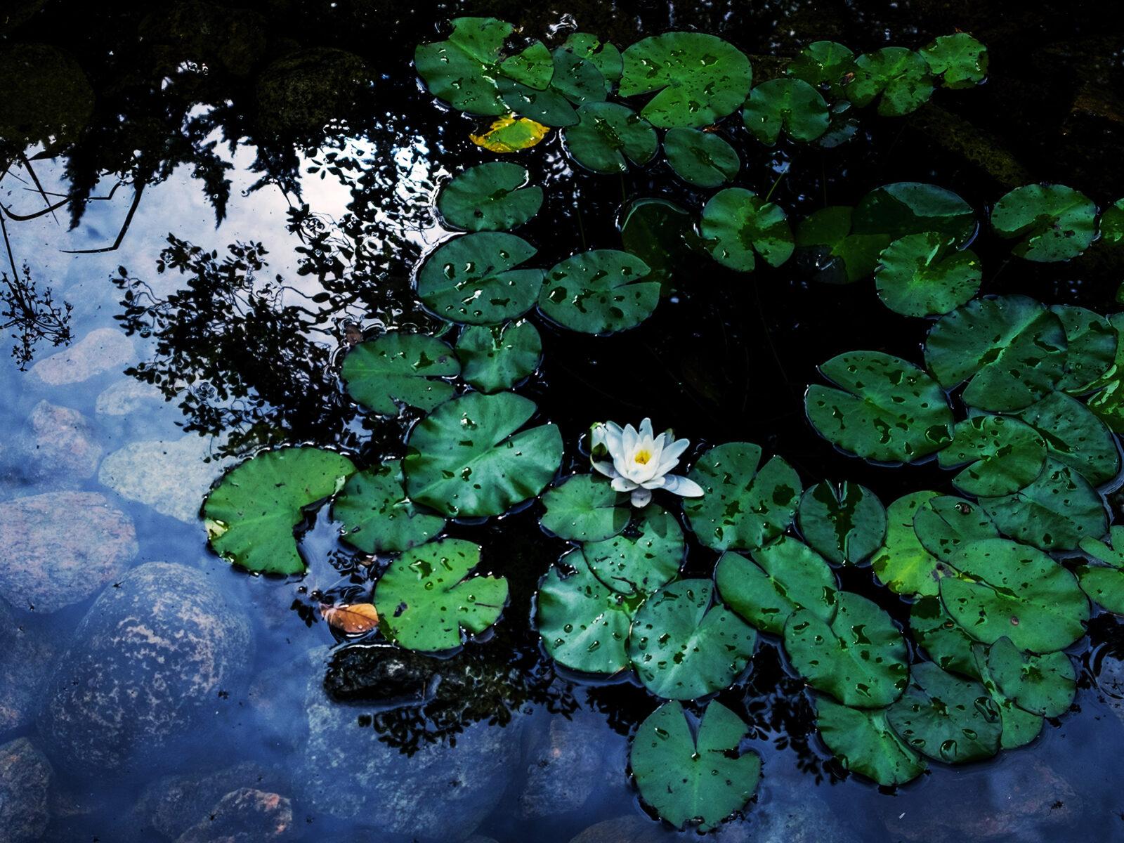 näckros, näckrosor, sjö, natur, bakgrund, grodor