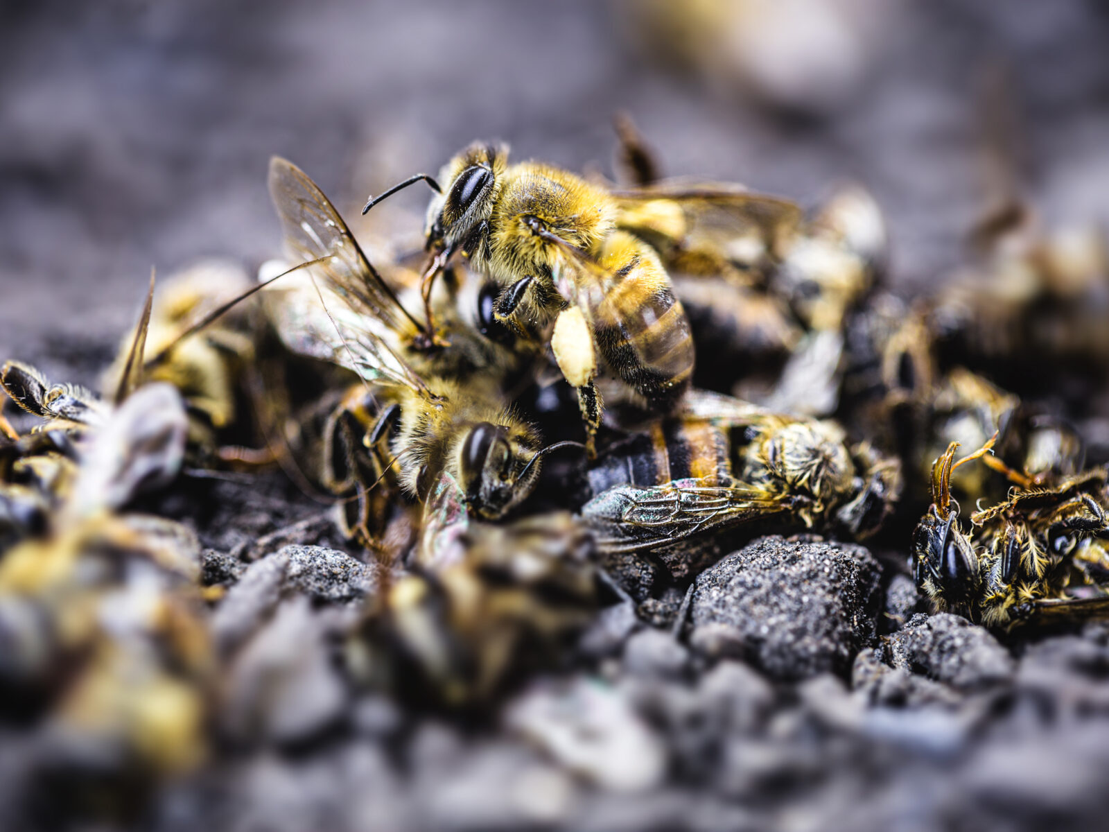Bi, bidöd, bekämpningsmedel, förbjudna, Brasilien, critically, bio politics, extinction, collapse, bee macro, pesticide spraying, environmental pollution, die, colony collapse disorder, bees, extermination, decline, nosema, diseases, toxic, insecticides, modified, pesticides, colony, chemically, close, plagued, swarm, parasite, ecology, beekeeping, wildlife, closeup, macro, mass extinction, dying bees, dead bee, ecological problem, poison, environmental risk