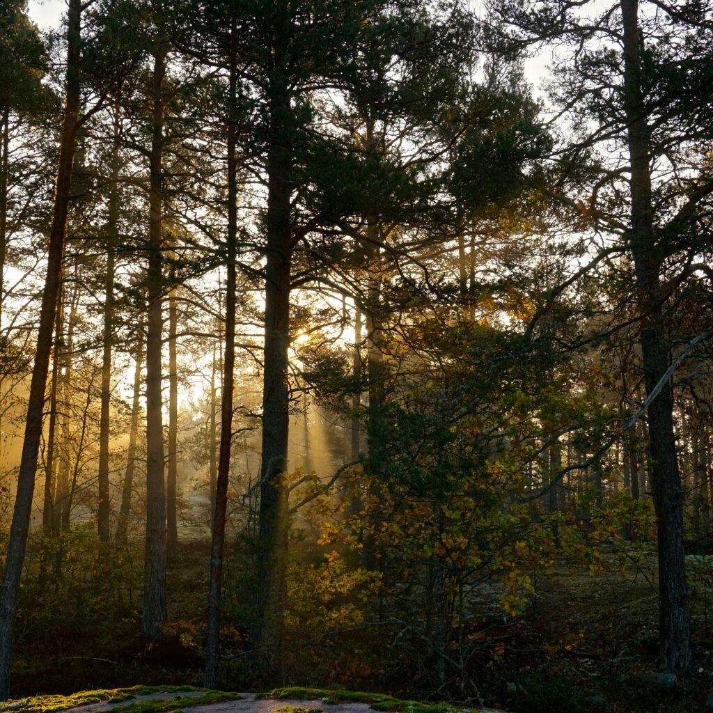 höst,skog,soldis,dimma