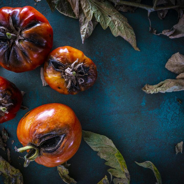 Tomater, frukt, grönsaker, rutten, matavfall, matsvinn, sopor, slänga, mat